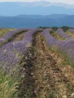 Lavendelblüte in der Provence